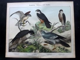 Kirby & Schubert 1889 Antique Bird Print. Peregrine Falcon, Hobby, Kestrel, Hawk